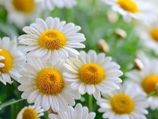Herbal medicines are a gentle yet effective way to treat many health problems. Chamomile (pictured) is excellent at soothing both the digestive tract and the nervous system to help deal with stress and anxiety.